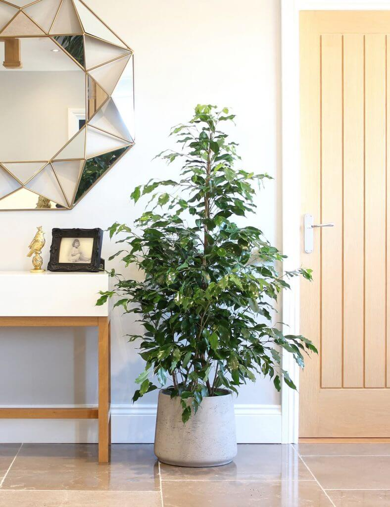 Ficus benjamina in the home