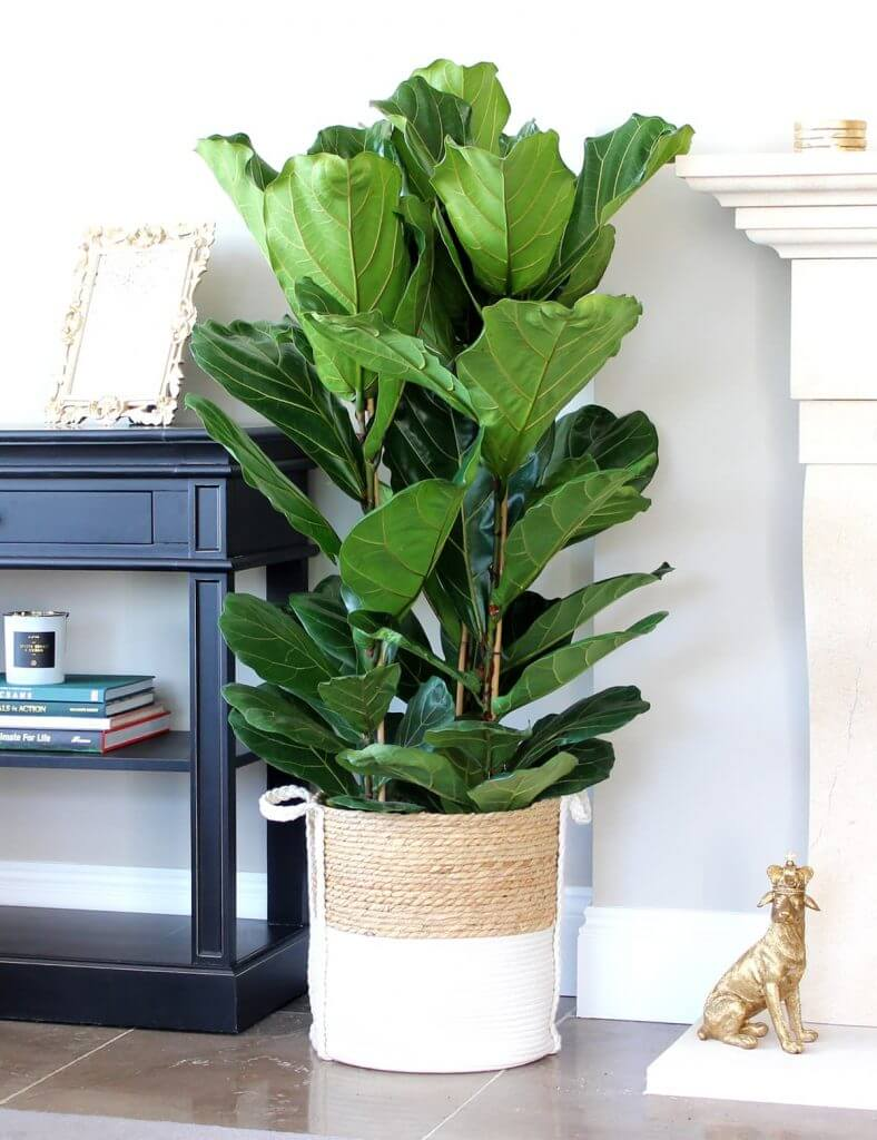 A beautiful Ficus Lyrata in the home